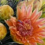 """Fish Hook Barrel Cactus Blossom"" by kretyen"