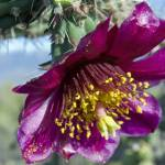 """King of all Cholla Blossoms"" by kretyen"