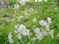 Wild Apple blossoms in old barnyard 2007