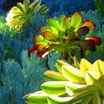 """Succulents Backlit on Blue 2"" by AmyVangsgard"