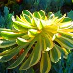"""Succulents Backlit on Blue 4"" by AmyVangsgard"