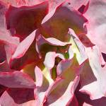 """Succulent Close-Up Square 2"" by AmyVangsgard"