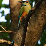 """Turquose-fronted Motmot"" by leofleck"