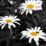 """Daisies"" by jason_minahan"