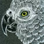 """African Grey Parrot"" by Enchantments"