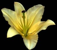 Golden Yellow Lily