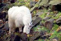 MountainGoat0007