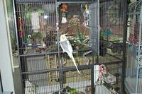 Cockatiel on cage