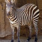 """Zebra Wild Animal Picture"" by kphotos"