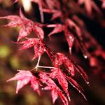 """RED MAPLE LEAVES"" by PHOTOREBEL"