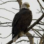 """Bald Eagle in Branches"" by johnmclaird"