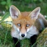 """""""Fox Cub"""" by RonGilmore"""