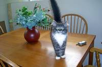 Cat on the kitchen table
