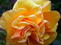 YellowRose of California