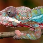 """panther chameleon"" by paulhalfmann"