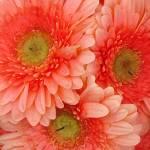 """""""Peach Gerber Daisies"""" by AmyVangsgard"""