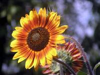red-yellow sunflower