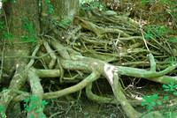 roots showing