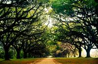 Tree-Lined-Plantation-Drive