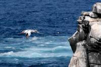 Tropic Bird in Flight