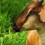 """Goat"" by gilbertrondilla"