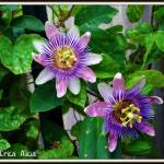 """double passionflower"" by ericaalicia"