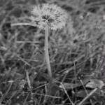 """""""dandelion"""" by ianclasper"""