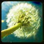 """Dandelion TTV"" by karmicRenditions"