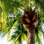 """Palm Tree"" by iabecker"