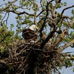 """Bald Eagle Nest_Sauvie Island_Oregon_May 2007"" by CraigStott"