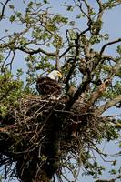 Bald Eagle Nest_Sauvie Island_Oregon_May 2007