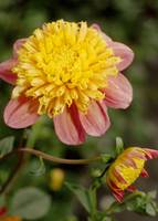 Dahlia Flower Hybrid 'Honey'