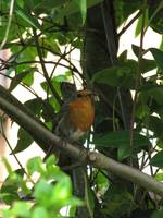 Robin In An Apple Tree