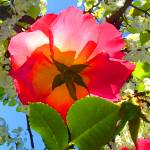 """Rose Under Tree Close-Up"" by AmyVangsgard"