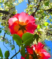 Backlit Roses Under Tree