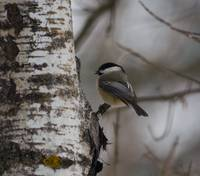Black-Capped Chickadee on Birch Tree