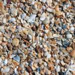 """Trove of Shells on Coquina Beach"" by Willpower"