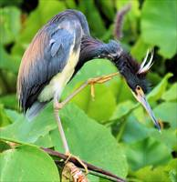 The Tricolor Heron
