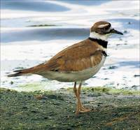 The Killdeer
