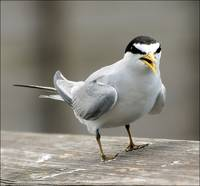 Tern Chatter