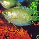 """""""Rainbow Gourami Tropical Fish"""" by kphotos"""