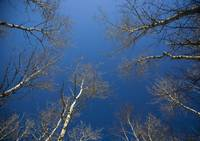 Winter Birch Canopy Into Blue Sky