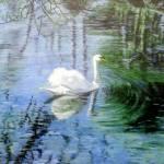 """Beautiful swan"" by kevinrollins"