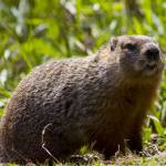 """Groundhog in the Grass"" by johnmclaird"