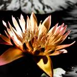 """Waterlily-2"" by KarenToblerPhotography"