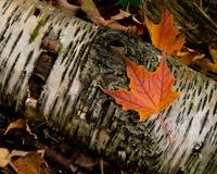 Maple Leaf and Birch Bark