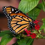 """Monarch Butterfly"" by DoloresRootPhoto"