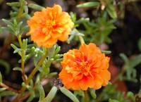 Orange Moss Rose macro - Woodlands TX