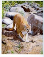 Western Mountain Lion in the Wild