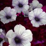 """Flowers in a Bed of Perse"" by rodholmstudio-digitallimn"